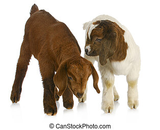 two baby goats - two baby goat twins - purebred south...