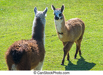 Two baby llamas facing each other