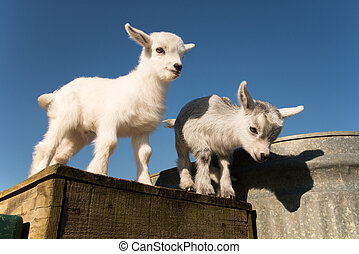Two baby pygmy goats - Newborn pygmy goats like to play and ...