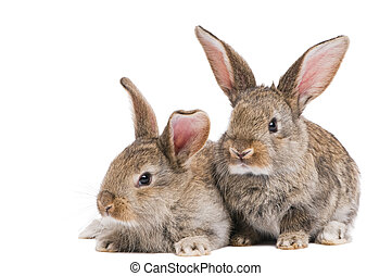 two baby rabbits isolated on white - two young light brown...