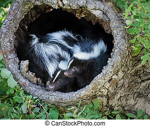 Two Baby Skunks in a Hollow Log