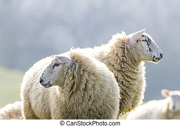 Two back lit sheep staring to left and right