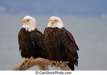 Photo of two American bald eagles resting on a perch.