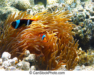 two-banded, clownfishes