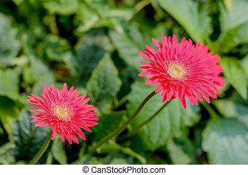Two Barberton daisy gerbera. A flower of Orchid in the flower garden.
