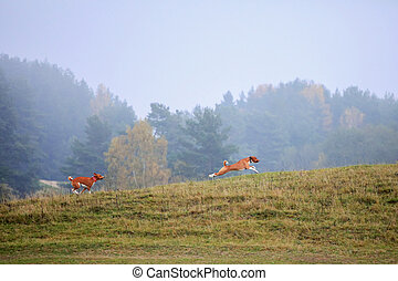 Two Basenji dogs running on autumn meadow