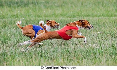 Two basenji dogs in red and blue shirts running in the field on lure coursing competition
