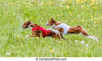 Two basenji dogs in red and white shirts running in the field on lure coursing competition
