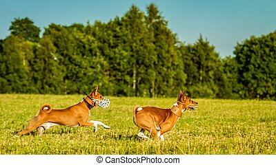 Two basenji dogs running in the field on lure coursing competition
