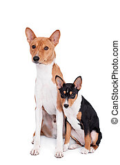 Two Basenjis, 4 years and 3 month old, on white - Two...