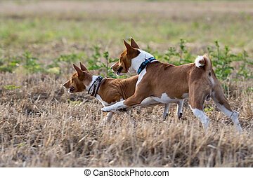 Two Basenjis dogs run together in field