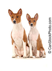 Two Basenjis on white background