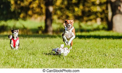 Two basenjis running in the field on lure coursing competition