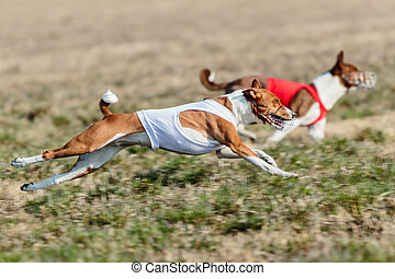 Two basenji dogs running qualification for lure coursing championship
