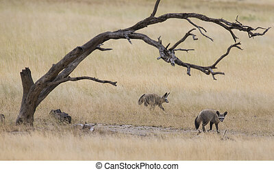 Two bat eared foxes forage for food on grass plain of the Kalahari