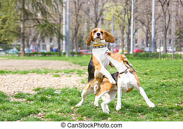 two beagle dogs in park playing and jumping with ears lifted