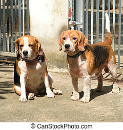 Two beagles looking to something