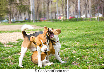 two beagles playing in park