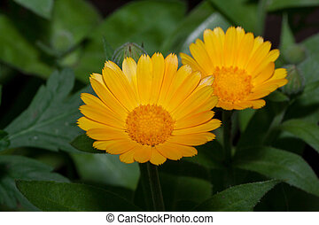 Two beautiful calendula flowers are growing on a green meadow.