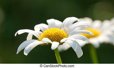 Two beautiful daisy flower in the sunshine in a summer garden.