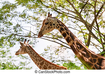 Two beautiful Giraffes showing its long neck outdoors in the...