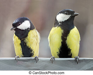 Close up view of two beautiful Great Tits at a feeder in a springtime. Shallow depth, selective focus.