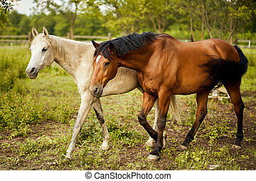 two beautiful horses on a meadow in summer
