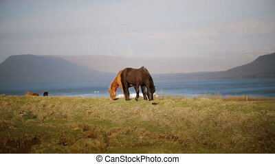 Two beautiful Icelandic horse eating graze, grazing on the...