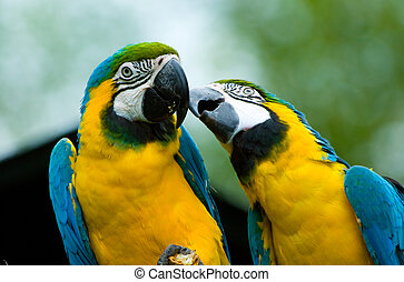 parrots in love  - two beautiful parrots in love