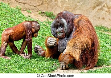 Orangutan of Borneo, Pongo Pygmaeus