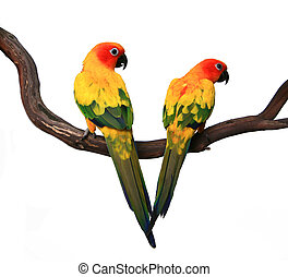 Two Beautiful Sun Conures on a Branch - Two Beautiful Sun...