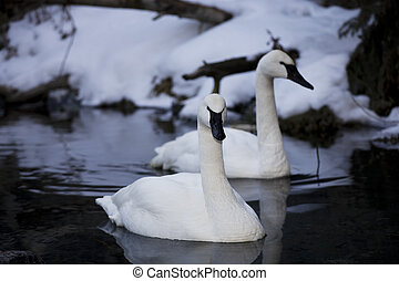 Two beautiful Trumpeter Swans floating in open water on a winter's day. Trumpeter Swans are a protected species.
