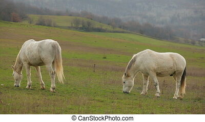 Two Beautiful White Horses Grazing In Pasture