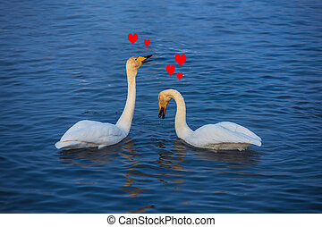 Beautiful white whooping swans - Two Beautiful white...