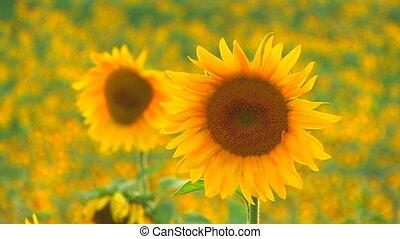 Two beautiful yellow sunflowers