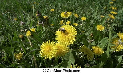 two bee is collecting the pollen on dandelion flowers
