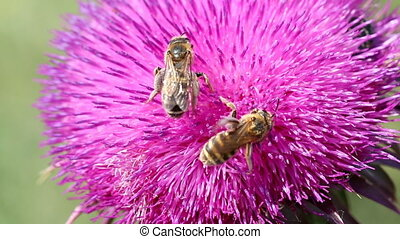 two bees on flower macro