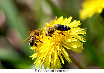 two bees on the dandelion macro