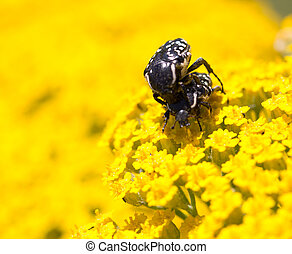 Two beetle on yellow flower in nature. macro