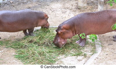 Two Behemoths eat grass on the ground at the Khao Kheow Open...