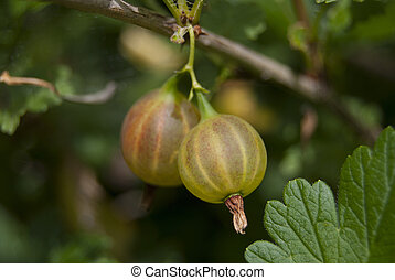 Two berries are not ripe gooseberry