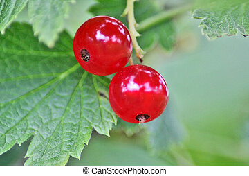 two berry red currant with green leaf, close up