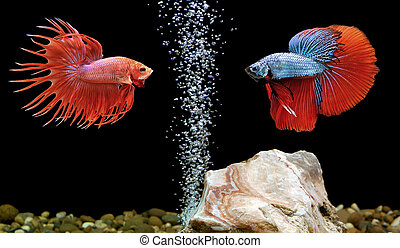 betta fish, siamese fighting fish in aquarium - two betta...