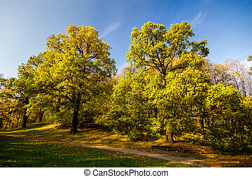 Two big autumn oaks with yellow leaves