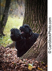 Two large black dogs of the Russian Black Terrier breed, a large and formidable dog, bred by Soviet breeders, in the fall in the park they sit similarly behind a tree