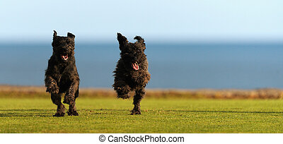 Two big black dogs Giant Schnauzer running on the grass