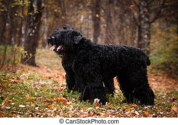 Two large black dogs of the Russian Black Terrier breed, a large and formidable dog bred by Soviet breeders, in the autumn there are similar