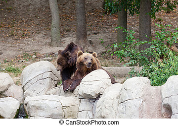 Two big brown bears have a rest on stones