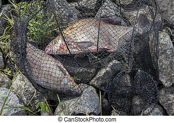 Two big caught fish, breams in fisherman's nets on beach, in grass. Concept of successful fishing, luck, fortune, success, active rest, hobby, countryside relaks