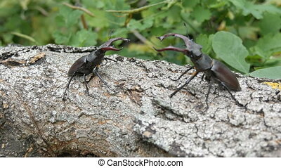 Two big deer beetles Lucanus cervus creep along tree. Rare ...